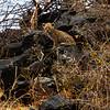 Baby Leopard cub