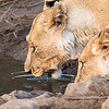 Lionesses drinking