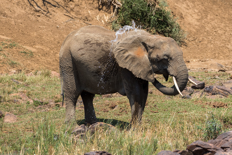 African Elephant bathing