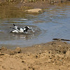 Blacksmith Lapwing bathing