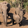 African Elephant family with suckling baby