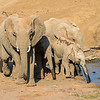 African Elephant family with babies drinking