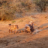 Spotted Hyaena confronting a Brown Hyaena