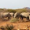 White Rhinoceros aka Square Lipped Rhinoceros