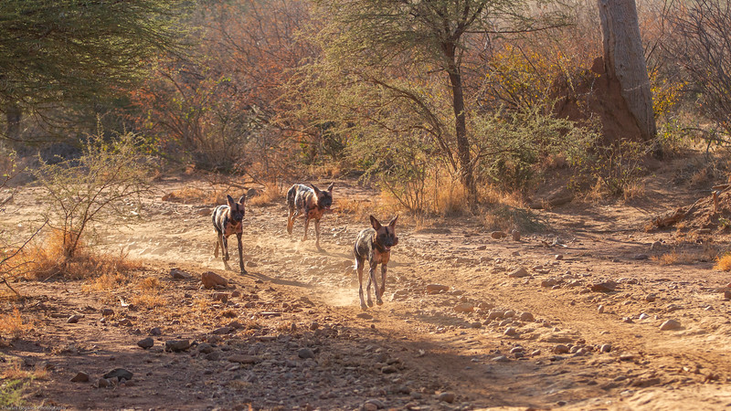 Wild Dog, aka African Painted Dog aka Painted Wolf.