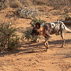 Wild Dog, aka African Painted Dog aka Painted Wolf.