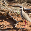 Crowned Plover aka Crowned Lapwing