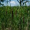 Reeds by Lake Mendota