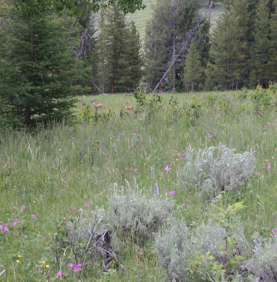 Montana  Gallatin National Forest - deer in background