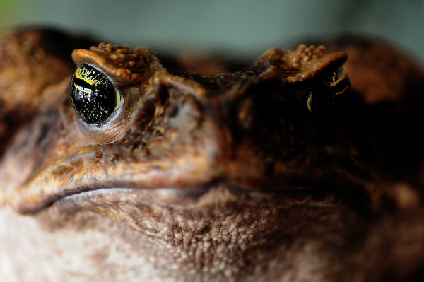 """JIM VAIKNORAS/Staff photo  """"Toady"""" a cane toad at the Rainforest Reptile Shows"""