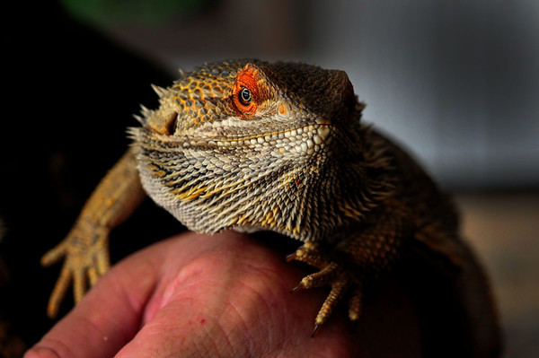 JIM VAIKNORAS/Staff photo  A Bearded dragon from Australia at the Rainforest Reptile Shows