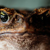 "JIM VAIKNORAS/Staff photo  ""Toady"" a cane toad at the Rainforest Reptile Shows"