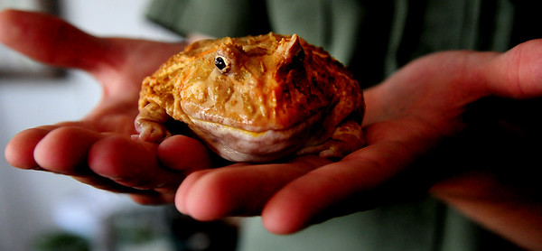 JIM VAIKNORAS/Staff photo  Albino horned frog from Argentina at the Rainforest Reptile Shows