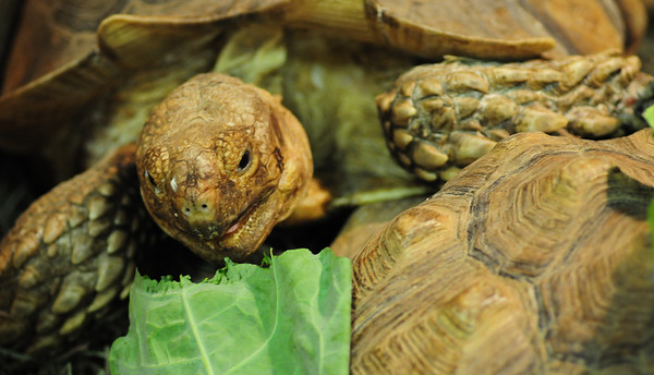 JIM VAIKNORAS/Staff photo  African Spur Tortoise at the Rainforest Reptile Shows