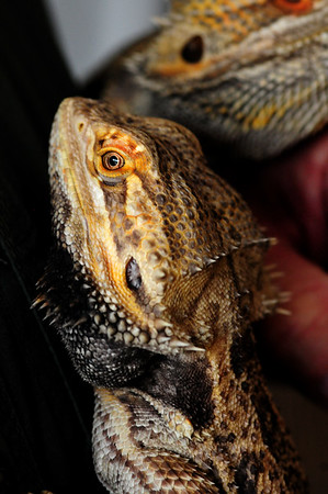 JIM VAIKNORAS/Staff photo  Bearded dragons from Australia at the Rainforest Reptile Shows