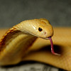 JIM VAIKNORAS/Staff photo  A monocled albino cobra at the Rainforest Reptile Shows