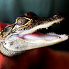 JIM VAIKNORAS/Staff photo  baby gator at the Rainforest Reptile Shows
