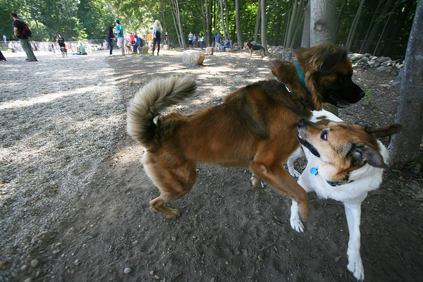 AMY SWEENEY/Staff photo.<br /> Two dogs play together during the grand opening of the Danvers Dog Park at Endicott Park. <br /> 9/17/16