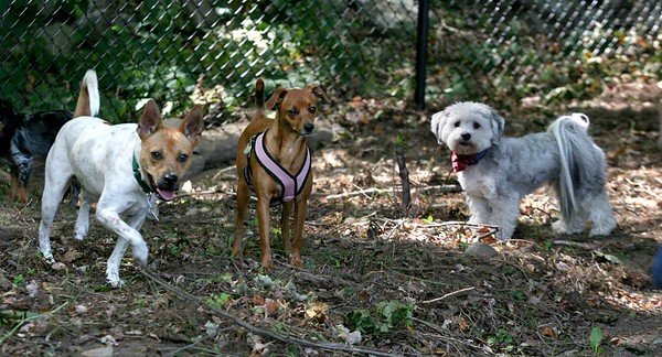 AMY SWEENEY/Staff photo.<br /> Jack, left, 1, owned by Bob Hogan of Danvers is greeted by two other small dogs during the grand opening of the Danvers Dog Park, which was held September 17, 2016 at Endicott Park. 9/17/16