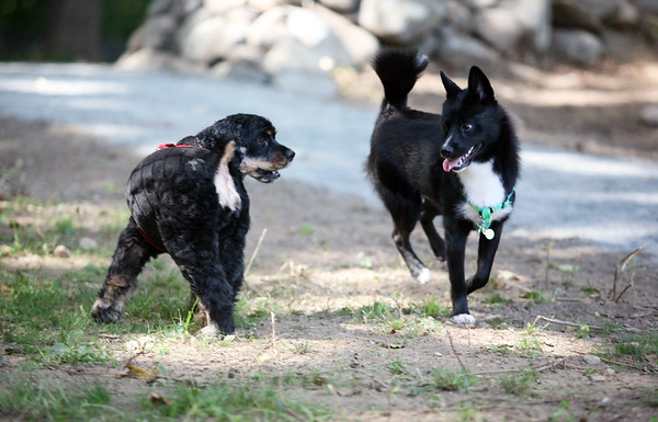 AMY SWEENEY/Staff photo.<br /> Two dogs greet one another during the grand opening of the Danvers Dog Park, which was held September 17, 2016 at Endicott Park. 9/17/16