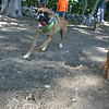 AMY SWEENEY/Staff photo.<br /> Stella, a Boxer owned by John Bobrek from Danvers, romps through the dog park during the grand opening of the Danvers Dog Park located at Endicott Park.<br />  September 17, 2016 a