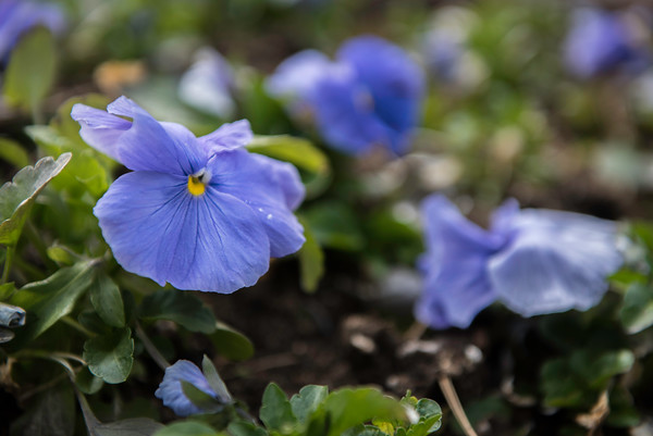 Pansy at John Archer's home in Danvers.