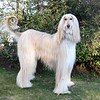 Tundra, 5, is an Afghan Hound owned by Pam Wall.<br /> Photo by Amy Sweeney