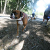 AMY SWEENEY/Staff photo.<br /> Stella, a Boxer owned by John Bobrek from Danvers, checks out the dog park during the grand opening.<br />  Danvers Dog Park located at Endicott Park.<br />  September 17, 2016 a