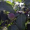 RYAN HUTTON/ Staff photo<br /> Freedom apples grow in the small orchard at Tattersall Farms.
