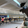 TIM JEAN/Staff photo<br /> A giant steel moose sculpture towers over people near the Southwest terminal at Manchester Boston Regional Airport in Londonderry.   6/28/16
