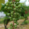 TIM JEAN/Staff photo<br /> Grapes growing in the field may soon be made into wine at Sunnycrest Farm in Londonderry. 7/8/16