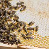 Worker bees make honey on a frame pulled out from one of the hives at a bee yard run by Moody Bees Honey. Jason Moody said that each hive contains 50,000-60,000 bees. Photo by Jackson Forderer