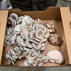 Rick Esser holds a box of three pounds of harvested mushrooms, including blue oysters, shiitake and lion's mane varieties.