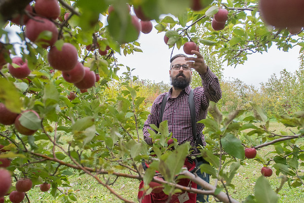 Tim Harbo picks Regent apples in the orchard at Welsh Heritage Farms in rural Lake Crystal. Harbo started Harbo Hard Cider in 2009 at the orchard, when he said people were beginning to show more interest in hard ciders.<br /> Photo by Jackson Forderer