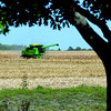 A farmer harvests a field of corn Thursday south of Mankato.