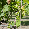 Grapes growing on a vine at the vineyard of Javens Family Winery. Owner Heather Javens said the winery grows Minnesota varieties of grapes including La Crescent, Frontenac, Frontenac Gris and Marquette. Photo by Jackson Forderer