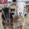Bert (left) and Ernie, two Nigerian dwarf goats at Shirlene Hvinden's farm. Photo by Jackson Forderer