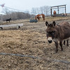 Carl the donkey approaches a barb wire fence at Shirlene Hvinden's farm in rural New Ulm. Photo by Jackson Forderer
