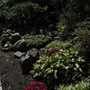 Marblehead:<br /> Hill garden: Hosta, chrysanthemum, scented geranium, rhododendron, Japanese umbrella pine in Karin McCarthy's garden at 15 Cloutmans Lane. <br /> Photo by Ken Yuszkus/Salem News, Tuesday, September 13, 2011.