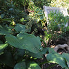 Marblehead:<br /> Hill garden: blue hosta, ilex glabra ( ink berry ), high bush blueberry, rhododendron, mountain laurel in Karin McCarthy's garden at 15 Cloutmans Lane. <br /> Photo by Ken Yuszkus/Salem News, Tuesday, September 13, 2011.