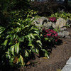 Marblehead:<br /> Hill garden: Hosta and chrysanthemums as fall border (dwarf Japanese maple in the background) in Karin McCarthy's garden at 15 Cloutmans Lane. <br /> Photo by Ken Yuszkus/Salem News, Tuesday, September 13, 2011.