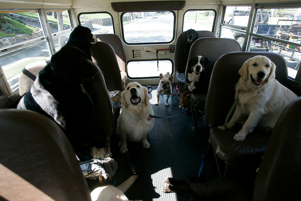 Dogs on their way to doggie day care in Salem.  Each pet is picked up at their home by driver, Lisa Richardson Bach. The company, Creature Comforts in Marblehead is owned by Brooks Williams.  Photo by Mark Lorenz