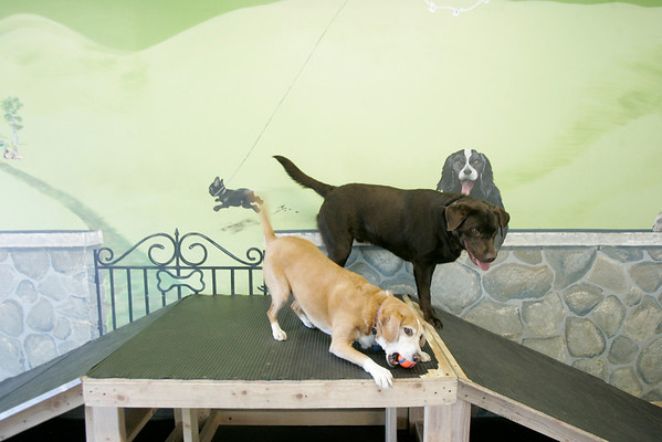 Dogs enjoy a day at doggie day care in Salem.  The company, Creature Comforts, is owned by Brooks Williams in Marblehead. Photo by Mark Lorenz