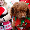 Marblehead: December 5, 2009: Santa and Mrs. Claus arrive at State Street in Marblehead from a lobster boat hailing from the North Pole as throngs of children gather to greet them.  A small and festive dog was one of the many admirerers on hand.  Photo by Liz Curtis