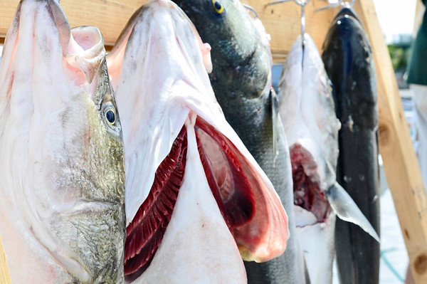 Marblehead:   Fishes hang after being counted for Pete's Fishing Derby.  photo by Mark Teiwes