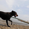 Marblehead: A black lab runs at Riverhead beach.  photo by Mark Teiwes