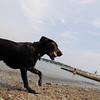 Marblehead: A black lab runs at Riverhead beach.  photo by Mark Teiwes