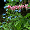 Marblehead: The pink bleeding hearts are complimented by blue forget-me-nots Barbara Dow's spring garden.  photo by Mark Teiwes / Salem News