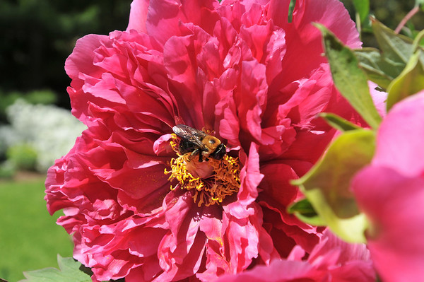 Marblehead: A large bee pollinates a big pink tree pianese Barbara Dow's spring garden.  photo by Mark Teiwes / Salem News