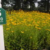 Middleton: The tee at #5 at Middleton Golf Course is accented with black eyed susans . Jim Vaiknoras/Staff photo